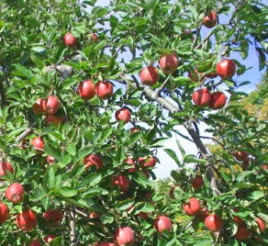 Apple trees and your home
